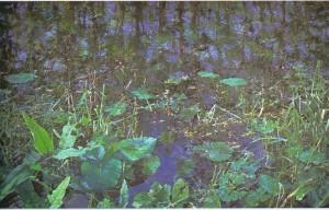 water weeds